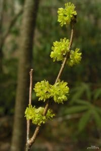 """Spicebush (4506720062)"" by Jason Hollinger - SpicebushUploaded by Amada44. Licensed under CC BY 2.0 via Commons - https://commons.wikimedia.org/wiki/File:Spicebush_(4506720062).jpg#/media/File:Spicebush_(4506720062).jpg"