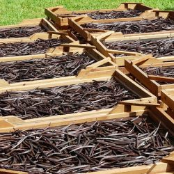 drying vanilla beans