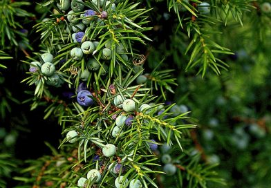 Classic Gin is juniper forward